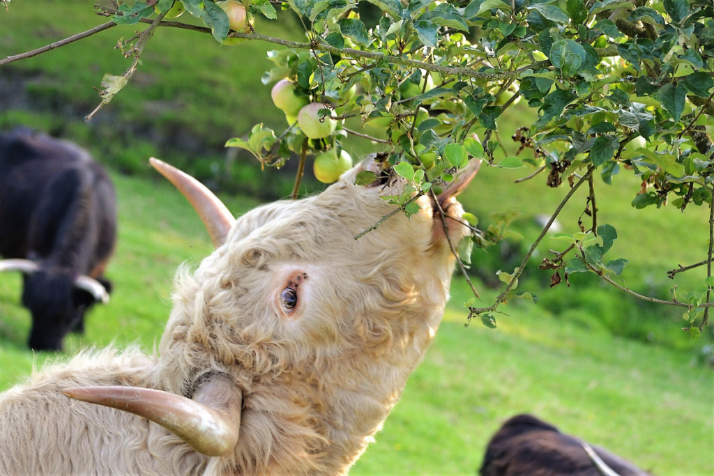 cow eating an apple