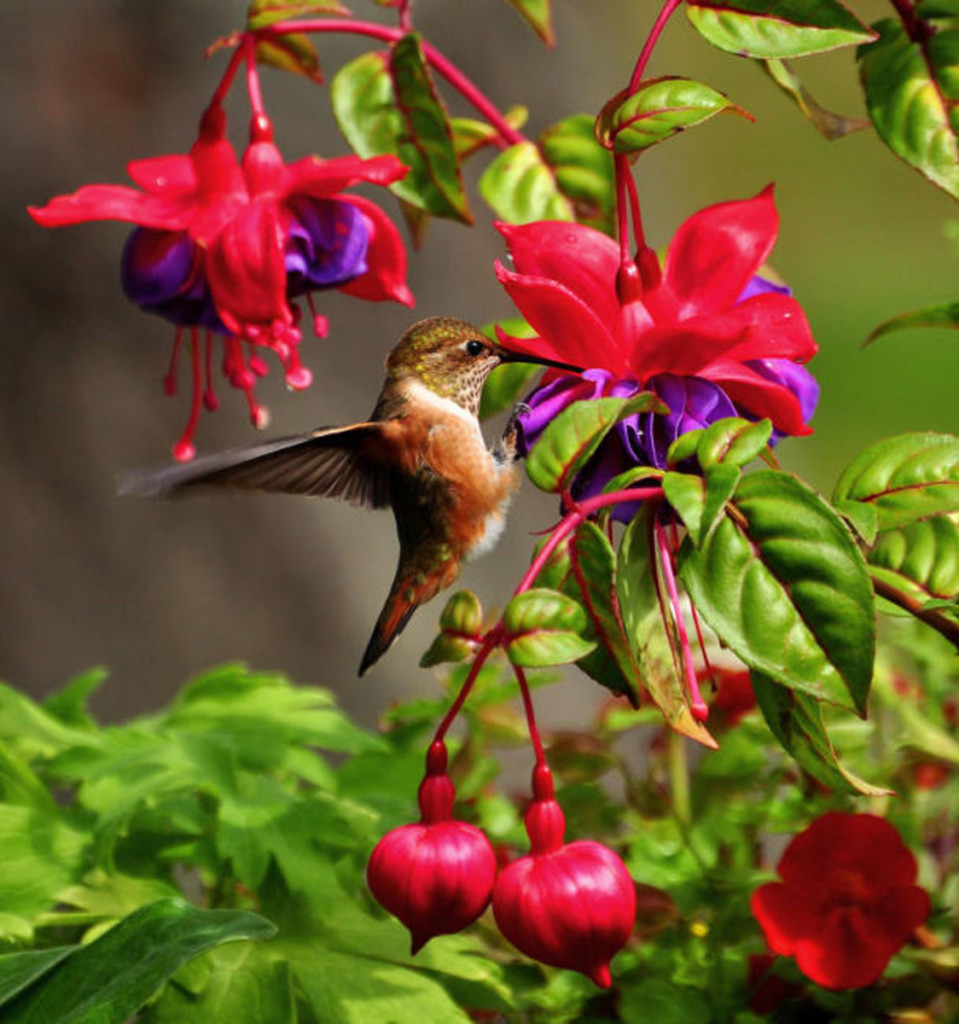 hummingbird feeding nectar from red fuchsia flowers
