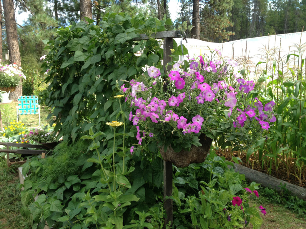 beans and flowers growing in garden