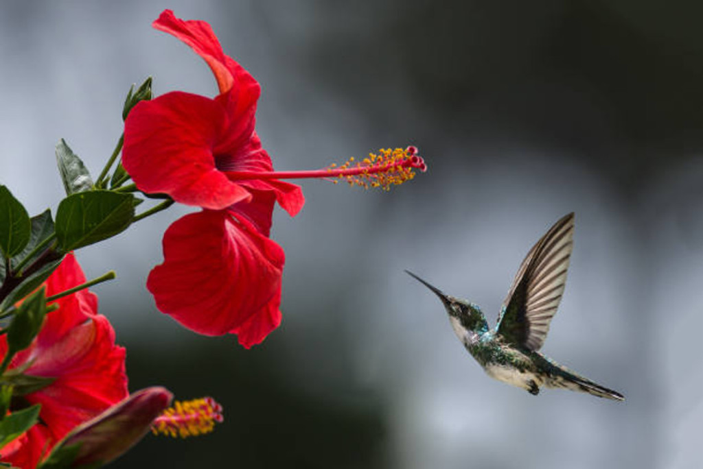 Hummingbird in flight to red Hibiscus flower