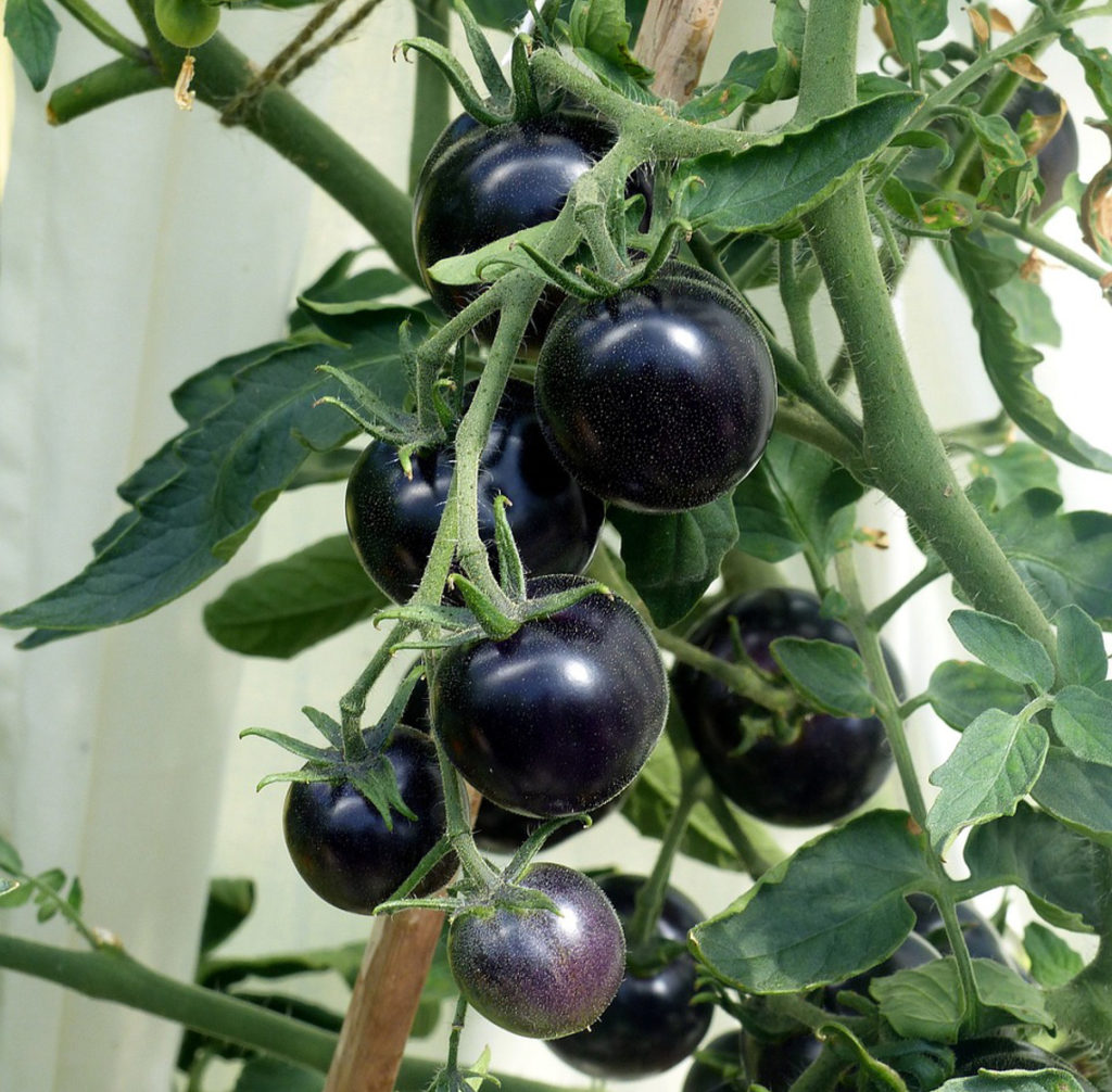 Black cherry tomatoes hanging on the tomato stem