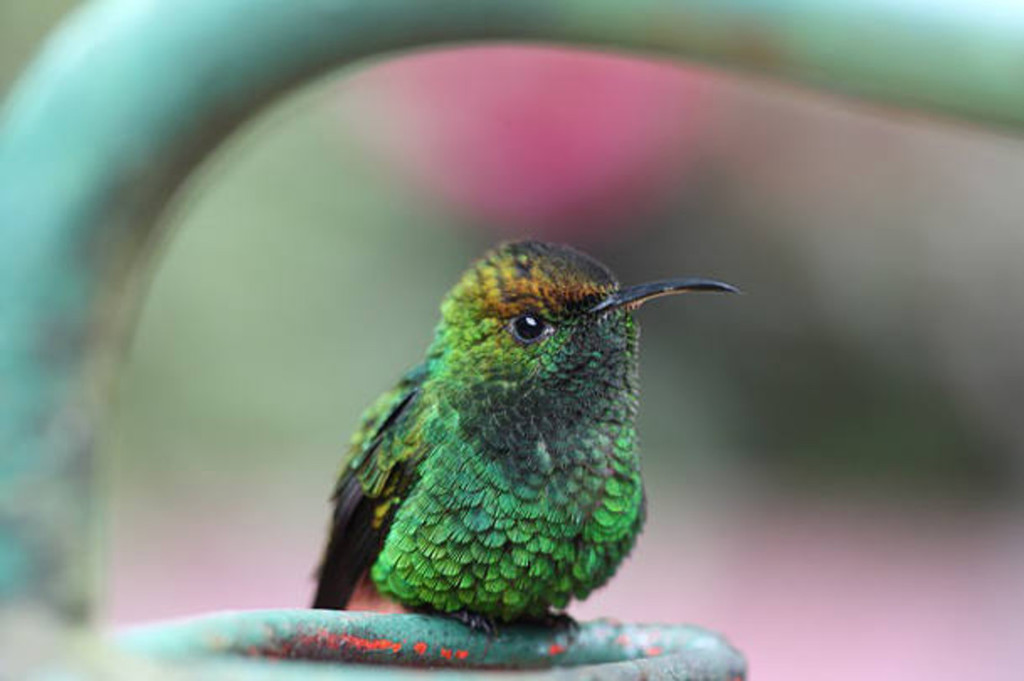 A perched hummingbird
