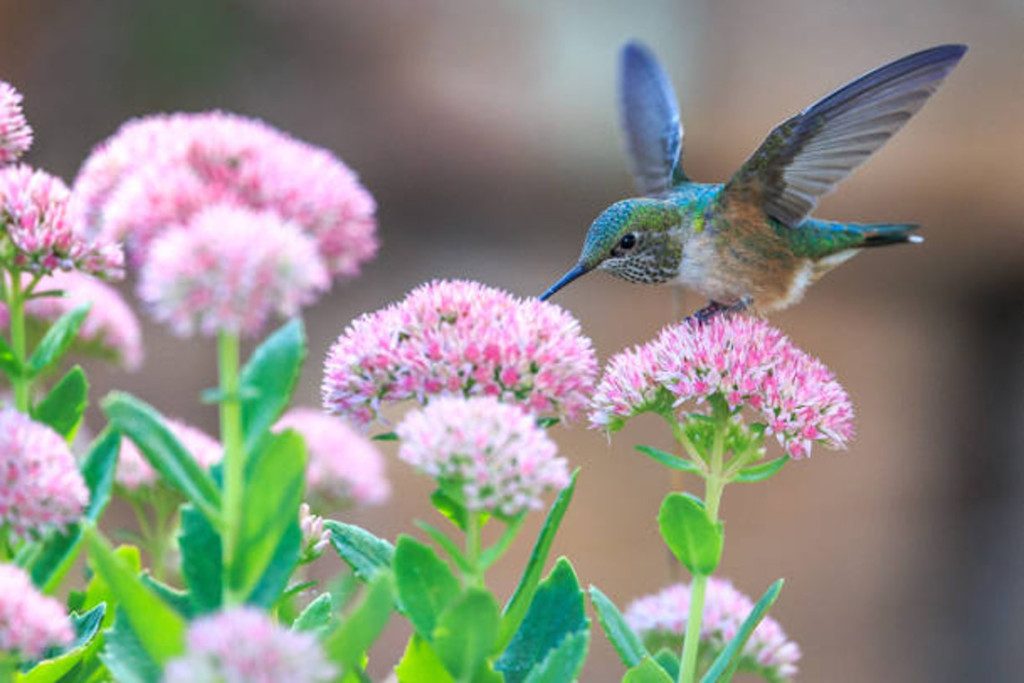 Hummingbird perched on pink flowers drinking nectar