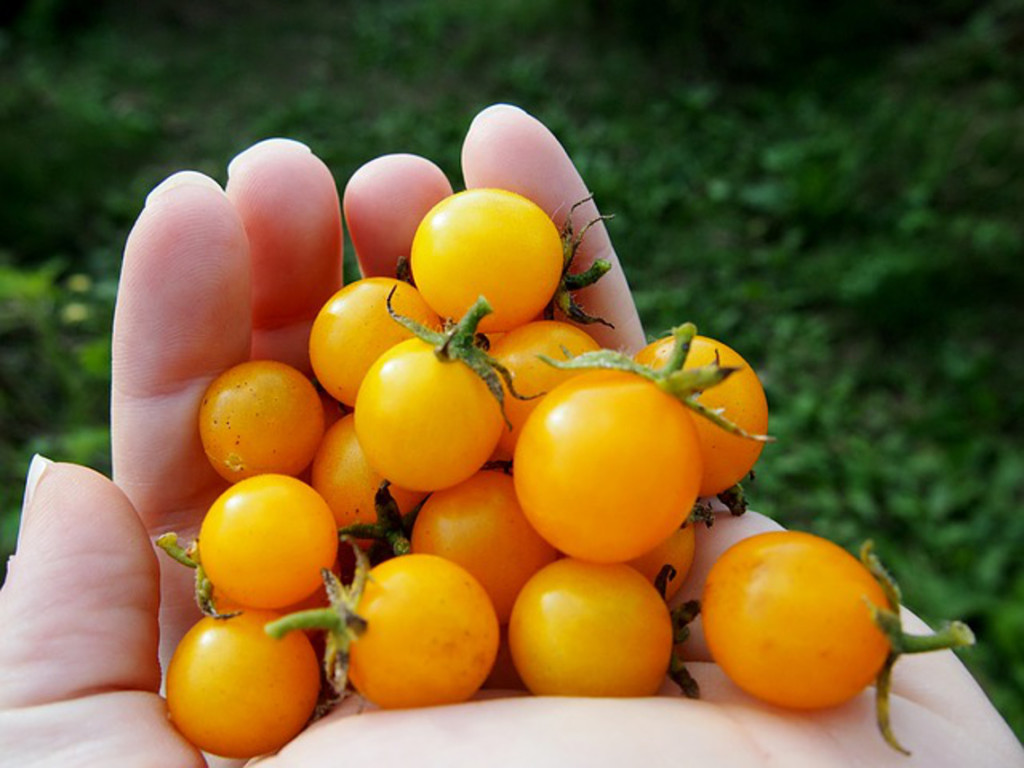Handful of tiny little delicious bright yellow tomatoes