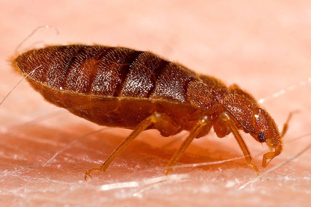 a common adult bed bug