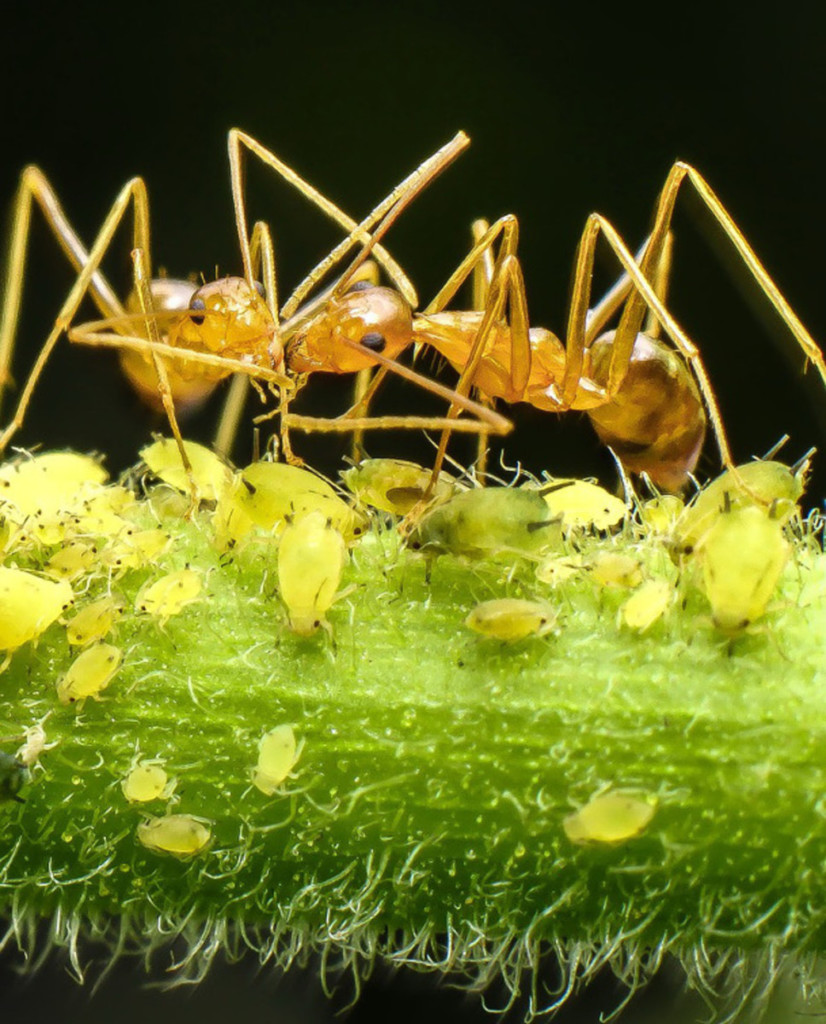 Ants tending to their aphids
