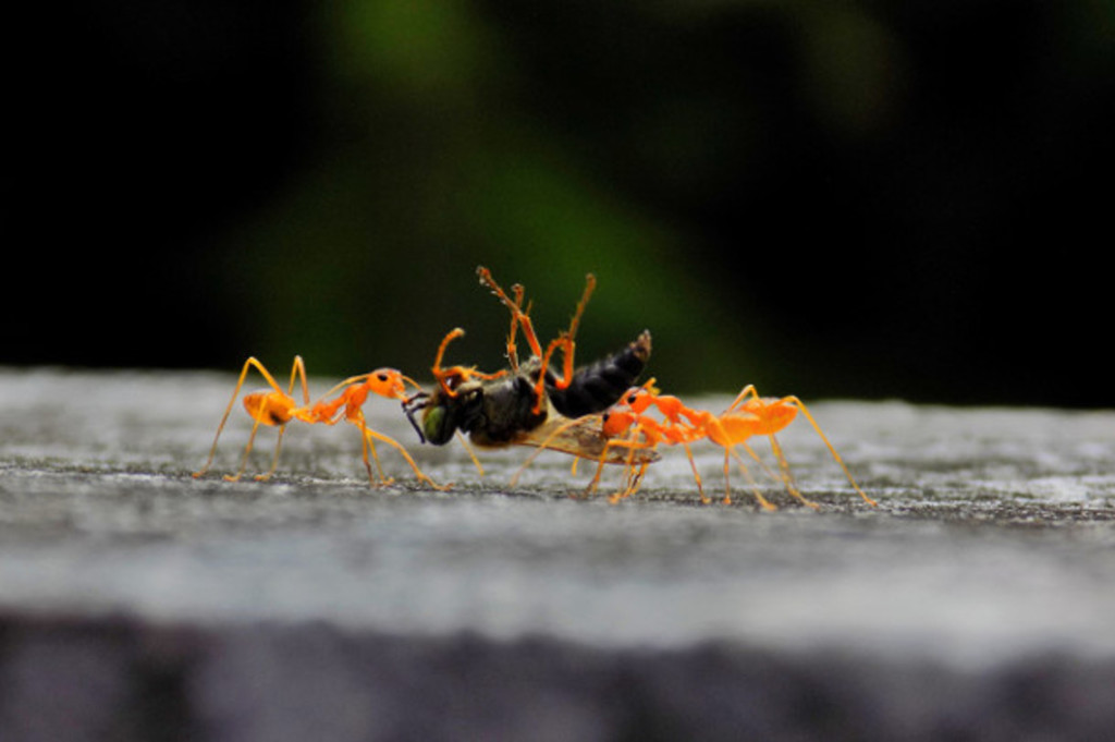Ants carrying dead bug as a source of protein