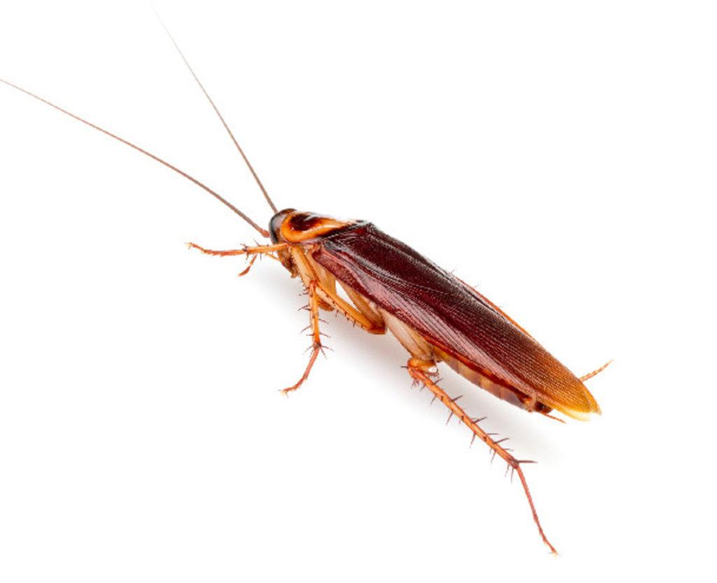 Periplaneta americana - American cockroach