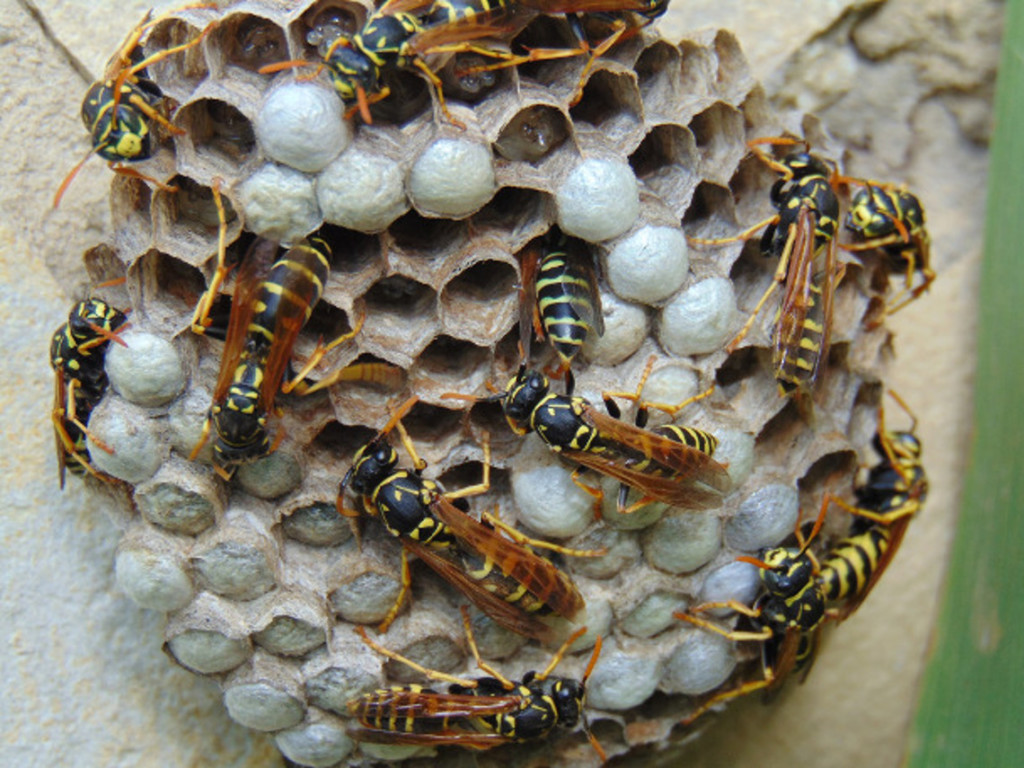 lots of wasps on a nest