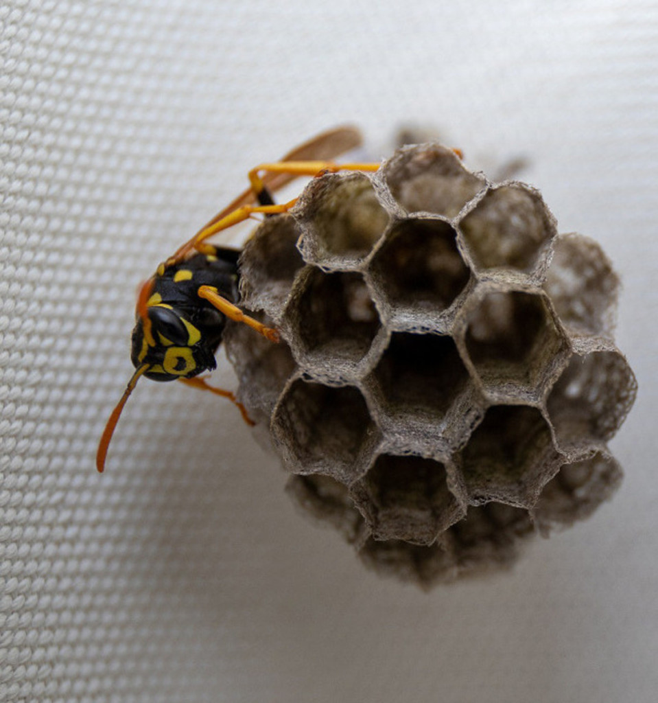 wasp on a small nest